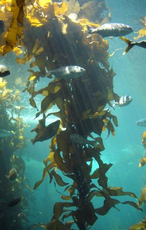Kelp Benefits